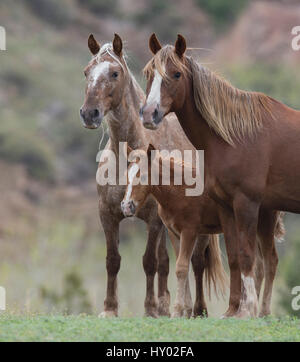 Wild Mustang mare with sister and foal at Black Hills Wild Horse Sanctuary, South Dakota, USA. May. - Stock Photo