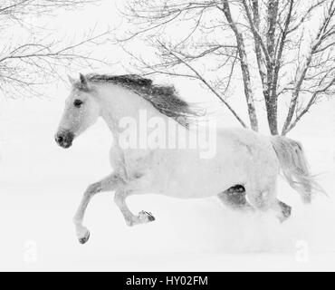 Grey Andalusian mare running in snow, Berthoud, Colorado, USA. January. - Stock Photo