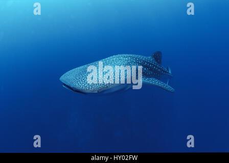 Whale shark off Christmas Island (Rhincodon typus), Indian Ocean. - Stock Photo