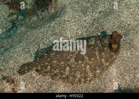 Wide-eyed flounder, Bothus podas, Bothidae, Tenerife, Canarian Islands, Spain, Atlantic Ocean - Stock Photo