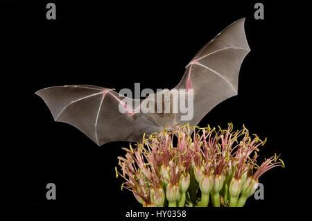Lesser Long-nosed Bat (Leptonycteris curasoae) flying at night to feed on Agave flower (Agave sp). Tuscon, Arizona, - Stock Photo