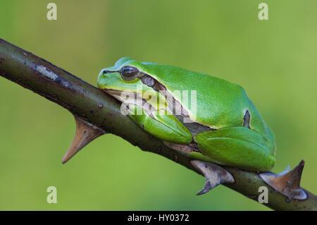 Common Tree Frog (Hyla arborea) adult resting in wild rose bush. National Park Lake Neusiedl, Austria. April. - Stock Photo
