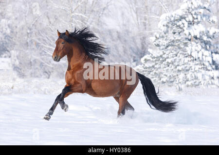 Bay Andalusian stallion running in the snow. Berthoud, Colorado, USA. - Stock Photo