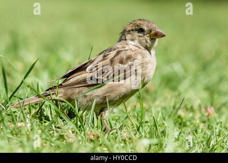 New Zealand house sparrows in a field - Stock Photo