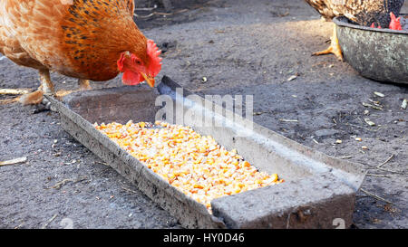 Free range chickens hens pecking corn and food - Stock Photo