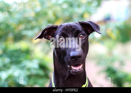 Close up Smiling face of happiness black dog face - Stock Photo