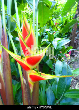 Heliconia Wagneriana as seen on the island of St Lucia in the Caribbean - Stock Photo