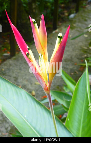 Heliconia Psittacorum as seen flowering on the island of Saint Lucia in the Caribbean - Stock Photo