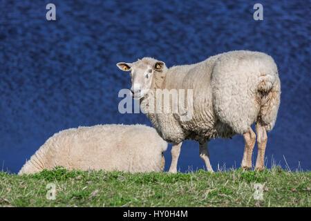 sheeps on dike, Sylt, Germany - Stock Photo