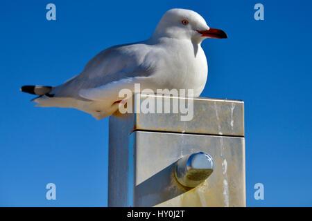 A Seagull resting on a beach shower post, Cottesloe Beach, Western Australia. - Stock Photo