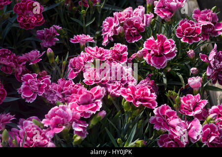 Red and White Dianthus Tenelke Flowers Otherwise known as Pinks - Stock Photo