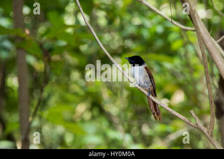 Seychelles, La Digue. La Veuve Nature Reserve. Female Seychelles Paradise flycatcher (WILD: Terpsiphone corvina), - Stock Photo