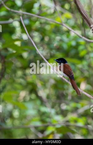 Seychelles, La Digue. La Veuve Nature Reserve. Female Seychelles Paradise flycatcher (WILD: Terpsiphone corvina), - Stock Photo