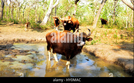 Indian bison along with calf  drinking water from small ponds which prepared by forest authorities of mudumalai - Stock Photo