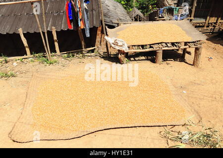 Plaited bamboo mats on the floor and on a bamboo strip platform containing rice grains sun drying in a village of - Stock Photo