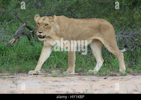 A Ferocious lioness walking in Kruger National Park - waiting for a prey - Stock Photo