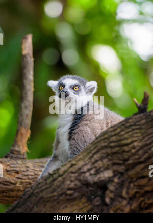 Ring-tailed lemur at Singapore Zoo, Singapore - Stock Photo