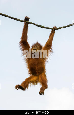 Orangutan swings from a rope in the Free-Ranging Orang-utan exhibit at Singapore Zoo, Singapore - Stock Photo