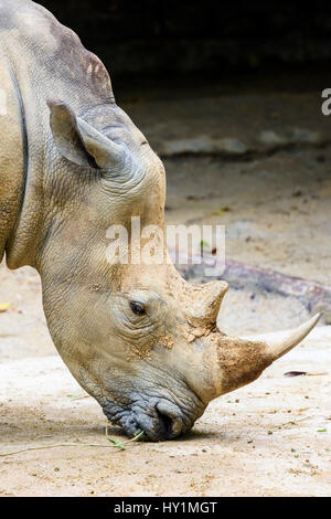 White Rhinoceros at Singapore Zoo, Singapore - Stock Photo