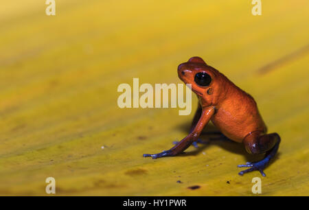 Blue-jeans Frog or Strawberry Poison-dart Frog, Dendrobates pumilio, sitting on a yellow banan leaf in rainforest - Stock Photo