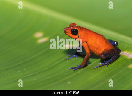 Blue-jeans Frog or Strawberry Poison-dart Frog, Dendrobates pumilio, sitting on a green banan leaf in rainforest - Stock Photo