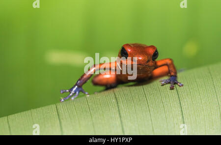 Blue-jeans Frog or Strawberry Poison-dart Frog, Dendrobates pumilio, climbing on a green banan leaf in rainforest - Stock Photo