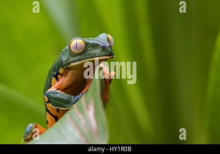 Splendid leaf frog, Cruziohyla calcarifer, climbing on a leaf, looking towards camera, in rainforest, Laguna del Lagarto, Boca Tapada, San Carlos, Cos Stock Photo