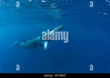 Dwarf minke whale (Balaenoptera acutorostrata) near surface, Queensland, Australia. Endangered species. - Stock Photo