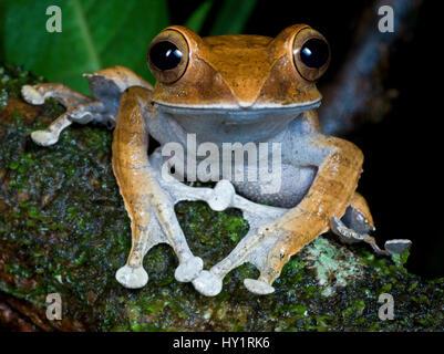 Madagascar tree / Leaf litter frog (Boophis madagascariensis) at night. Andasibe-Mantadia National Park, Eastern Madagascar.