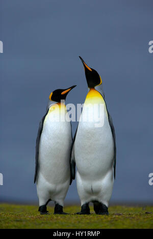 King penguin (Aptenodytes patagonicus) male and female, courtship posture, Falkland Islands. - Stock Photo