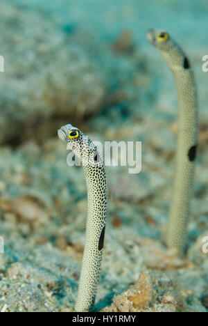 Spotted garden eels, Heteroconger hassi partly out of their burrow ...