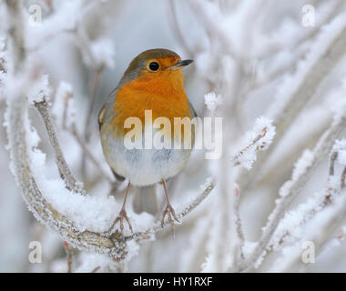 European Robin (Erithacus rubecula) perched in snow, Wales, UK, January. - Stock Photo