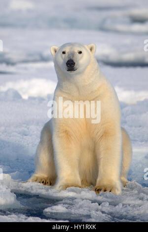 Polar Bear (Ursus maritimus) sitting on pack ice, Svalbard, Norway, September 2009. Endangered species. - Stock Photo
