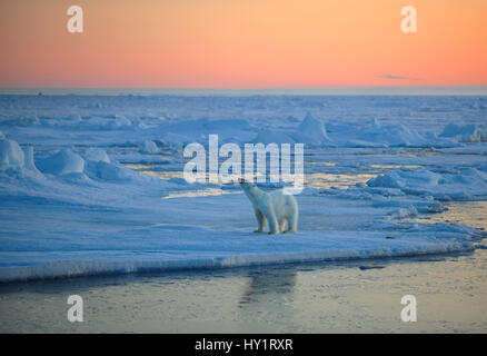 RF- Polar Bear (Ursus maritimus) on pack ice, sniffing the air at sunset, Svalbard, Norway, September 2009. Endangered species.