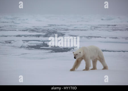 RF- Polar bear (Ursus maritimus) on ice floe, Svalbard, Norway, September 2009. Endangered species. - Stock Photo