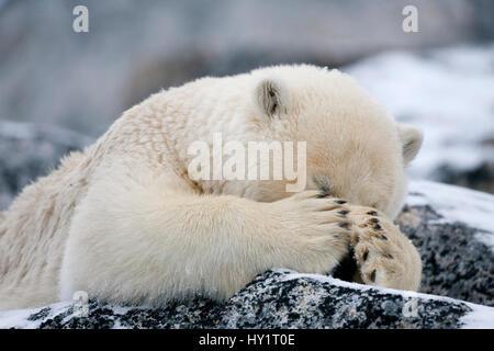 RF- Polar bear (Ursus maritimus) with paws covering eyes, Svalbard, Norway, September 2009. Endangered species. - Stock Photo