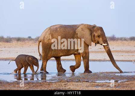 African elephant (Loxodonta africana) mother and baby walking through water, Etosha National Park, Namibia, August. - Stock Photo