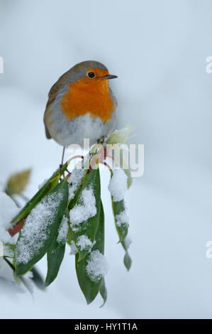 European Robin (Erithacus rubecula) perched on snow covered branches, in garden, Wales, UK. December. - Stock Photo
