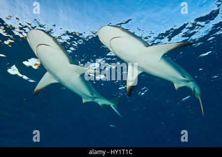Two Caribbean reef sharks (Carcharhinus perezi) at the surface. Grand Bahama, Bahamas. Tropical West Atlantic Ocean. - Stock Photo