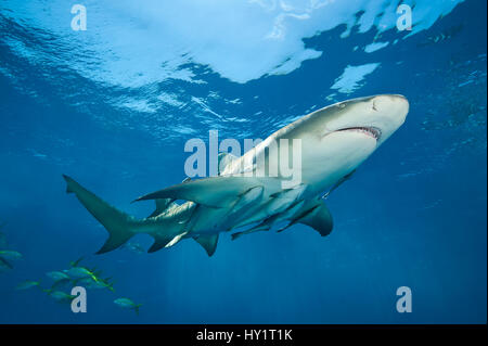 Lemon shark (Negaprion brevirostris) accompanied by Remoras (Echeneis naucrates) swimming close to surface. Grand - Stock Photo