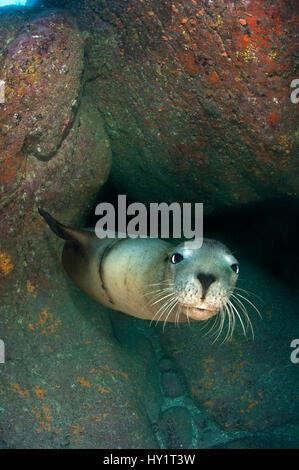 Adult California sealion (Zalophus californianus) resting in rocky cave. Los Isotes, La Paz, Mexico. Sea of Cortez, - Stock Photo