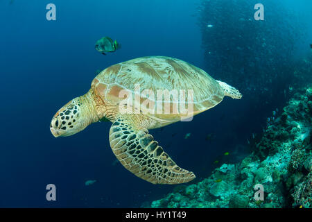 Green turtle (Chelonia mydas) with reef fish and schooling Bigeye jacks / trevally (Cranax sexfasciatus) in the - Stock Photo