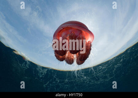 Low angle shot of Red jellyfish floating in water, food of the Leatherback turtles, Philippines. - Stock Photo