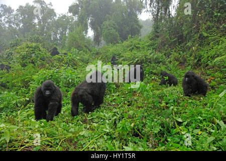 Mountain Gorilla family group (Gorilla beringei) in a forest clearing. Rwanda, Africa, March. Endangered species. - Stock Photo