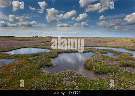 Sea lavender (Limonium vulgare) flowering on Stiffkey Marshes, Norfolk, UK, July. - Stock Photo