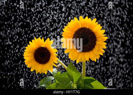 Sunflowers (Helianthus annuus) in rain, Norfolk, UK, August. - Stock Photo