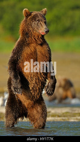 Grizzly Bear (Ursus arctos horribilis) standing on hind legs hunting for salmon. Katmai, Alaska, USA, August. - Stock Photo