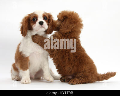Blenheim Cavalier King Charles Spaniel puppy, 11 weeks, with Apricot miniature Poodle puppy, 8 weeks. - Stock Photo