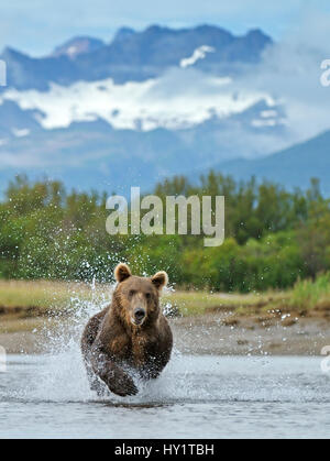 Grizzly bear (Ursus arctos horribilis) leaping through water, chasing salmon. Katmai National Park, Alaska, USA, August.
