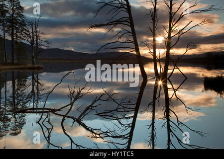 Dead Scots pine (Pinus sylvestris) reflected in Loch Mallachie at sunset. Cairngorms National Park, Scotland, UK. - Stock Photo
